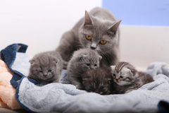 British Shorthair mother Stock Image