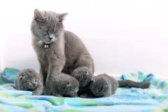 British Shorthair mother Stock Photo