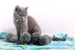 British Shorthair mother Stock Images