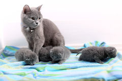 British Shorthair mother Royalty Free Stock Images