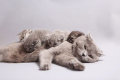 British Shorthair mother with kittens Stock Photo