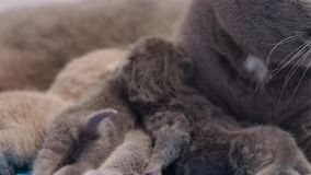 British Shorthair mother licking her babies stock footage