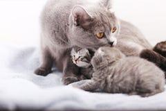 British Shorthair mother Royalty Free Stock Image