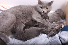 British Shorthair mother Stock Photography