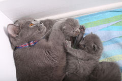 British Shorthair mother playing with her babies Stock Photography