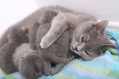 British Shorthair mother playing with her babies Stock Photos