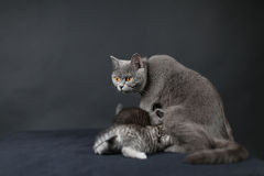 British Shorthair mother playing with her baby Stock Photo