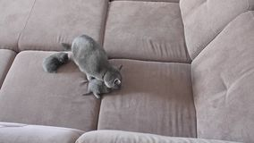 Mother cat feeding cute baby kittens on the couch stock footage