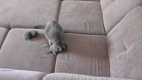 Mother cat feeding cute baby kittens on the couch Stock Photo