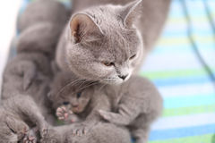 British Shorthair mother taking care of her babies, portrait from above Royalty Free Stock Photo