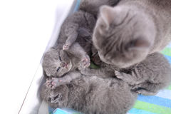 British Shorthair mother taking care of her babies, portrait from above Royalty Free Stock Images