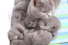 British Shorthair mother taking care of her babies, portrait from above. Portrait of a mother cat licking, cleaning and taking care of her newly born kittens Stock Photos