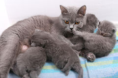 British Shorthair mother taking care of her babies, portrait Royalty Free Stock Photography