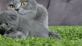 British Shorthair mother taking care of her babies Royalty Free Stock Images