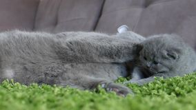 British Shorthair mother taking care of her babies Stock Photos