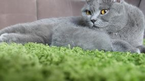 British Shorthair mother taking care of her babies Stock Photo