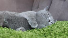 British Shorthair mother taking care of her babies Royalty Free Stock Photography