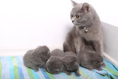 British Shorthair mother watching her kittens Royalty Free Stock Images