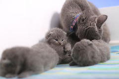 British Shorthair mother watching her kittens Stock Images