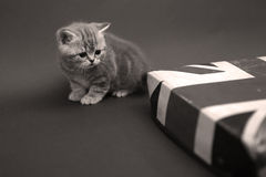 British Shorthair near a lid Stock Photography
