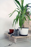 British Shorthair near a pot of flowers Stock Photo