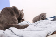 British Shorthair new born kitten, first day of life Royalty Free Stock Images