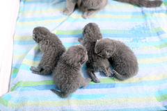 British Shorthair new born kitten, first day of life Royalty Free Stock Image