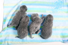 British Shorthair new born kitten, first day of life Royalty Free Stock Photography