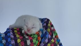British Shorthair new born kitten meowing in a towel