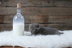 British Shorthair new born kitten near a bottle of milk. White sheepskin and wooden background royalty free stock images