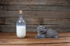 British Shorthair new born kitten near a bottle of milk. Wooden background, isolated portrait royalty free stock photography