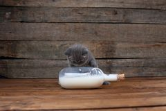 British Shorthair new born kitten near a bottle of milk. Wooden background, portrait royalty free stock images