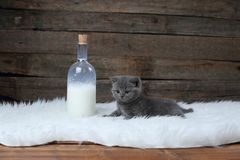 British Shorthair new born kitten near a bottle of milk. White sheepskin and wooden background royalty free stock image