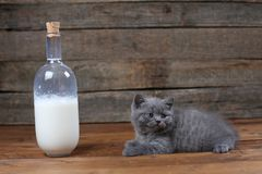 British Shorthair new born kitten near a bottle of milk. Wooden background, isolated portrait royalty free stock photos