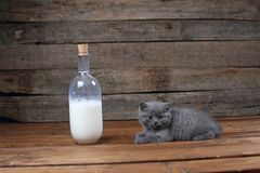 British Shorthair new born kitten near a bottle of milk. Wooden background, isolated portrait stock images