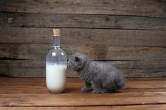 British Shorthair new born kitten near a bottle of milk. Wooden background, isolated portrait royalty free stock image