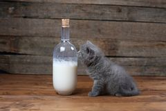 British Shorthair new born kitten near a bottle of milk. Wooden background, isolated portrait royalty free stock images