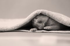 New born kittens sleeping in a towel, first day of life. British Shorthair new born sitting in a cozy towel Royalty Free Stock Photo