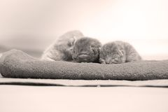 New born kittens sleeping in a towel, first day of life. British Shorthair new borns sitting in a cozy towel Stock Images