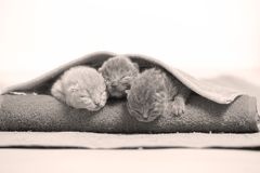 New born kittens sleeping in a towel, first day of life. British Shorthair new borns sitting in a cozy towel Royalty Free Stock Photography