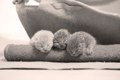 New born kittens sleeping in a towel, first day of life. British Shorthair new borns sitting in a cozy towel Royalty Free Stock Photos
