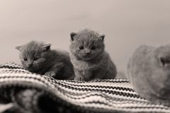 Kittens sitting on a home made rug. British Shorthair newly born kittens on the carpet, striped rug stock images