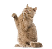 British shorthair pawing up Royalty Free Stock Photography