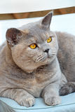 British shorthair pedigree cat Royalty Free Stock Images