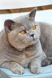 British shorthair pedigree cat Royalty Free Stock Images