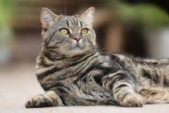 British Shorthair Tabby lying in the yard Royalty Free Stock Image