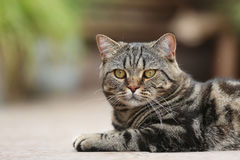 British Shorthair Tabby lying in the yard Royalty Free Stock Images