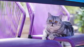British Shorthair Tabby sitting on the chair. British Shorthair is the pedigreed version of the traditional British domestic cat. The most familiar color variant stock photography
