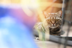British Shorthair Tabby lying in the yard Stock Images