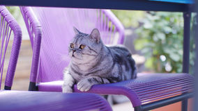 British Shorthair Tabby sitting on the chair. British Shorthair is the pedigreed version of the traditional British domestic cat. The most familiar color variant royalty free stock photos